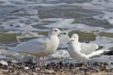 Glaucous Gull and Herring Gull