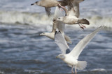 Glaucous Gull and Herring Gulls