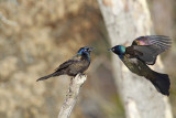 Common Grackles