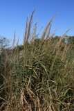 Panicum amarum- Coast Switchgrass