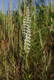 Spiranthes odorata- Marsh Lady's Tresses