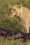 African Wildlife in Serengeti, Lake Manyara, and Tarangire National Parks