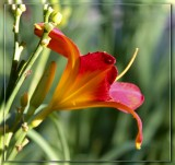 Red Lily in the sun