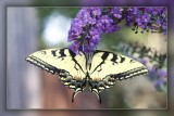 Butterfly on Buddleia