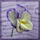 Pansy and Music