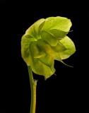 Hellebore (Lenten Rose) from our gardens