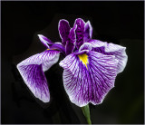 Siberian Iris from our gardens