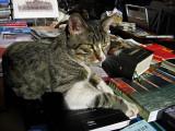 Gatti d'Italia    (Italian Cats)   2007