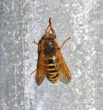 Tabanidae ( Bromsar )