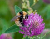 Bumblebees ( Humlor )