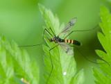 Tipuloidea ( Harkrankar )