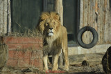 gradina-zoologica-baneasa-leul-47.JPG
