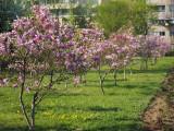 magnolii-parcul-morarilor-bucuresti-8.JPG