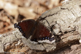 Mourning Cloak Butterfly - Nymphalis antiopa