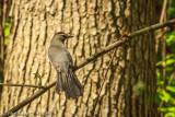 Gray Catbird - Dumetella carlinensis