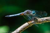Dragonfly - Blue Dasher