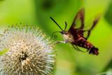Hummingbird Moth on a Button Bush
