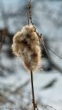 Winter Cattail