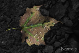 Autumn leaf revisited