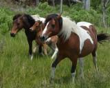 Ponies of Assateague - Wild Thing's herd