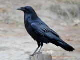 Raven in Yosemite Valley