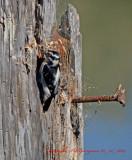 Downey Woodpecker Eureka California