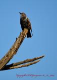 Starling Eureka California