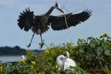 Blue Herron returning with nesting materials - Matagorda Bay