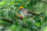 goldencrowned_kinglet