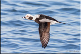 Long-tailed Duck (M)