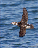 longtailed_duck