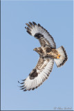 roughlegged_hawk
