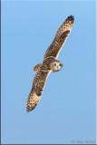 shorteared_owl