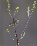 northern_waterthrush