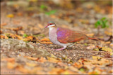 _Key West Quail-dove