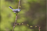 bluegray_gnatcatcher