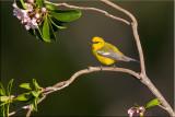 bluewinged_warbler_