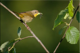 common_yellowthroated_warbler