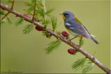 warblers__vireo_kinglet