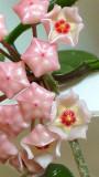 Hoya carnosa- Wax Flower