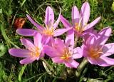 meadow saffron