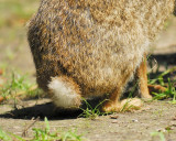 cottontail rabbit BRD8623.JPG