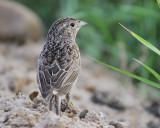 1670a_cassins_sparrow