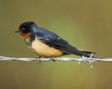 barn swallow BRD8961.JPG