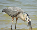 1070a_great_blue_heron