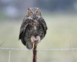 1350_owls