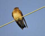 rough-winged swallow BRD1302A.JPG
