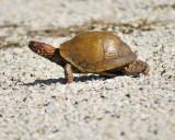 box turtle BRD2093.JPG