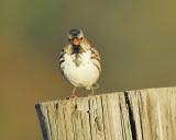 harris's sparrow BRD3512.JPG