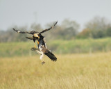 white-tailed hawk BRD3582.JPG